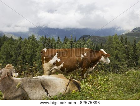 A Brown And  White Cow In The Grass