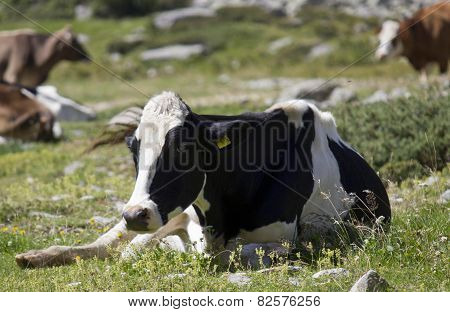 Black And White Cow Sit In The Grass