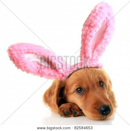Irish Setter puppy wearing Easter bunny ears.