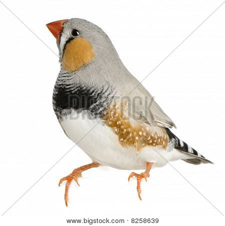 Zebra Finch, Taeniopygia Guttata, Perched In Front Of White Background
