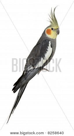 Cockatiel, Nymphicus Hollandicus, Perched In Front Of White Background