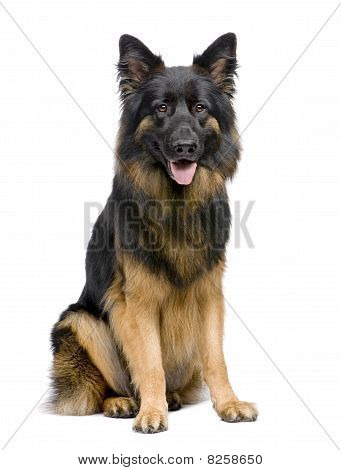 German Shepherd, 3 Years Old, Sitting In Front Of A White Background