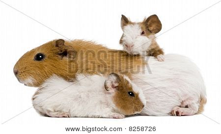 Guinea Pig Family In Front Of White Background