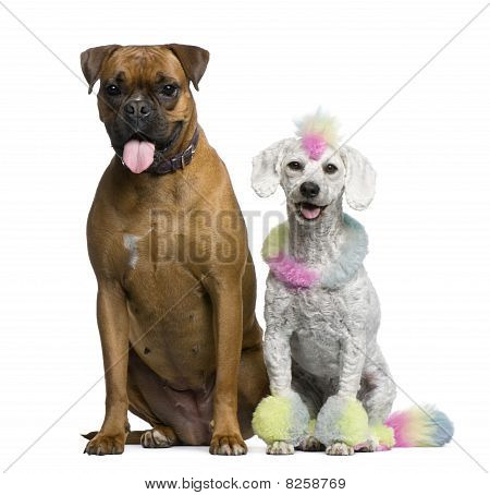 Poodle With Multi-colored Hair And Mohawk, 12 Months Old, Sitting With Boxer In Front Of White Backg