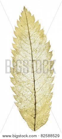 yellow leaf skeleton isolated on white background
