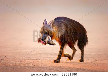 Brown hyena (Hyaena brunnea) with prey (baby bat-eared fox) in mouth  - Kalahari desert (South Africa)
