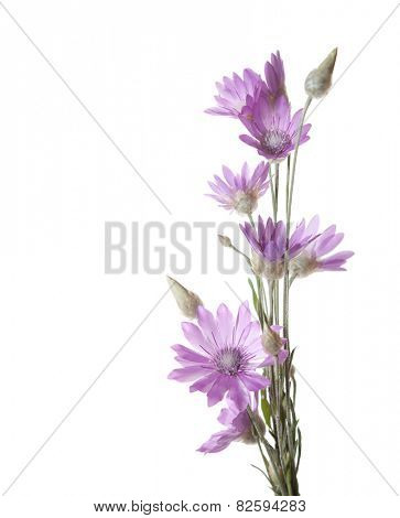 Lilac flowers (immortelle)  isolated on white background. Xeranthemum annuum