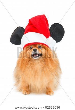 Pomeranian Dog With Christmas Hat Isolated On White Background