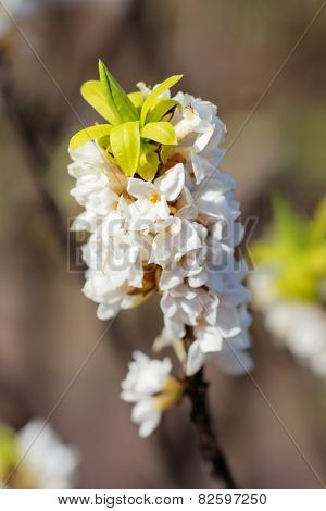 White Daphne Close Up
