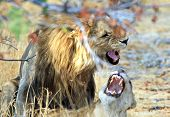 stock photo of african lion  - Pair of African lions mating in the bush - JPG