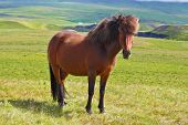 image of bay horse  - Warm summer day in Iceland - JPG
