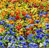 picture of viola  - viola tricolor pansy - JPG