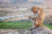 stock photo of hanuman  - Sad Monkey sitting near Hanuman Monkey Temple in Hampi Karnataka India - JPG