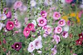 stock photo of hollyhock  - Hollyhock flower in the nature of garden - JPG