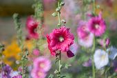 stock photo of hollyhock  - Hollyhock flower in the nature of garden - JPG