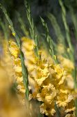 foto of gladiolus  - yellow colour of Gladiolus flower in the garden - JPG