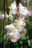 image of gladiolus  - white colour Gladiolus flower in the garden - JPG
