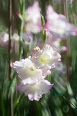 image of gladiolus  - white colour Gladiolus flowers in the garden - JPG