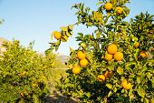 image of tangerine-tree  - Orange plantation with trees ready to be harvested - JPG