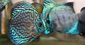picture of diskus  - Blue turquoise discus fish swimming in the water - JPG