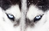 picture of dog eye  - Close up on blue eyes of a husky dog - JPG