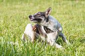 stock photo of scratch  - Thai domestic dog scratching its face on green grass in the garden - JPG