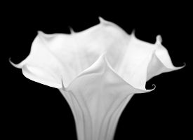 foto of angel-trumpet  - Datura - JPG