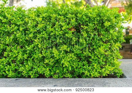 Bush Green Hedge. Foliage.