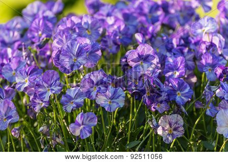 Flowers Pansy Grass Meadow
