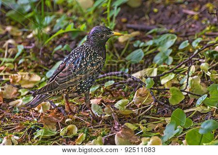 Starling Bird Nestling Grass