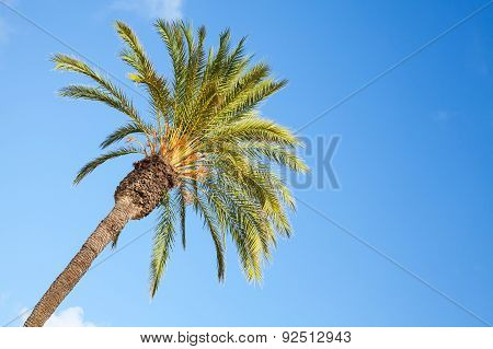 Date Palm Tree Over Blue Sky