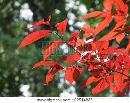 nice red leaves