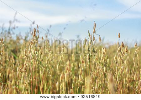 Common Oat Or Avena Sativa Cereal Ears Are Standing In Farm Field