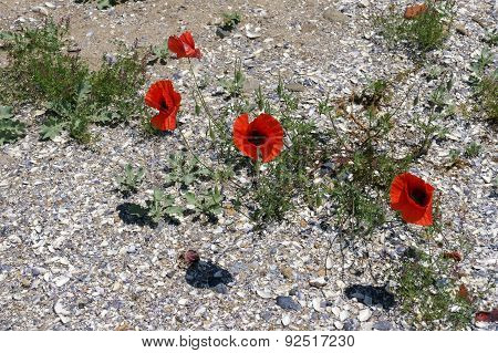 poppies on the beach 8