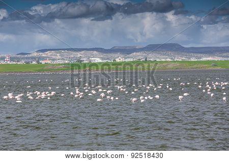 Flamingos in Larnaca Salt Lake