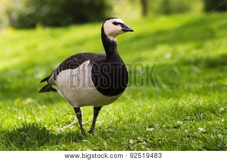 Barnacle Goose On Green Grass