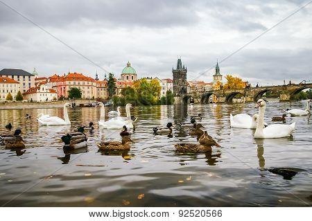 Swans And Ducks Near Charles Bridge In Prague