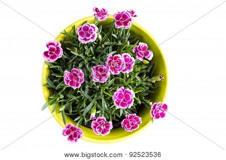 Top View Of Purple Mini Carnation Dianthus In Colorful Flower Pot