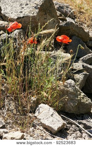 stones and poppies