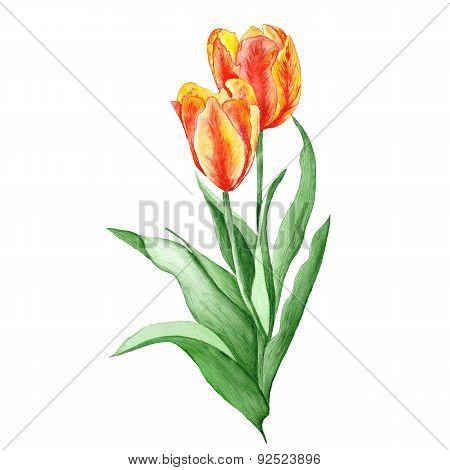 Tulip Botanical Illustration