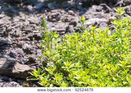Garden Thyme (thymus Vulgaris)
