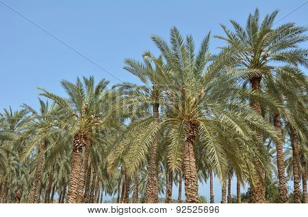 Date Palm Plantation - Dead Sea, Israel