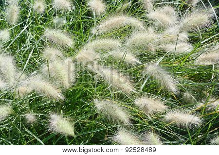 Garden With Fountain Grass