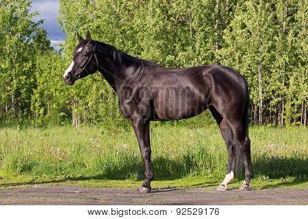 Budyonny Horse