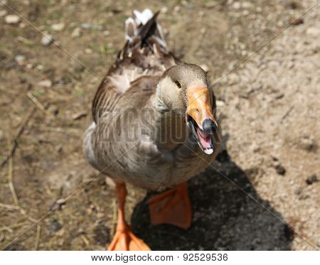 Goose In The Barnyard Of The Farm With The Orange Beak Flutters