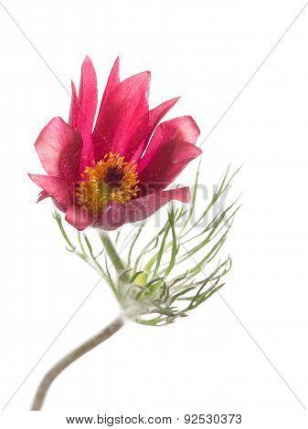 Spring Delicate Flower Pulsatilla Patens