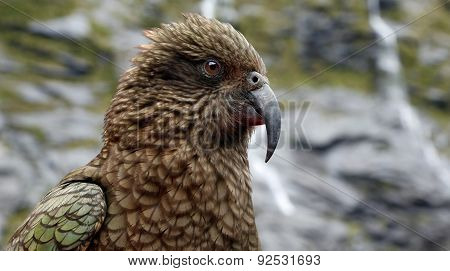 Close-up view of a Kea (Nestor notabilis)
