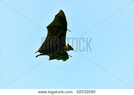 Flying Foxe