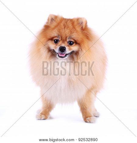 Pomeranian Dog Smile On White Background