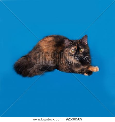 Tortoiseshell Cat Lies On Blue